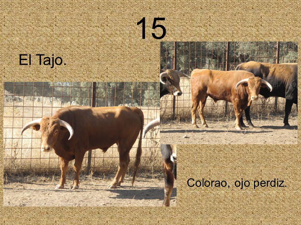 15 Colorao, ojo perdiz. El Tajo.