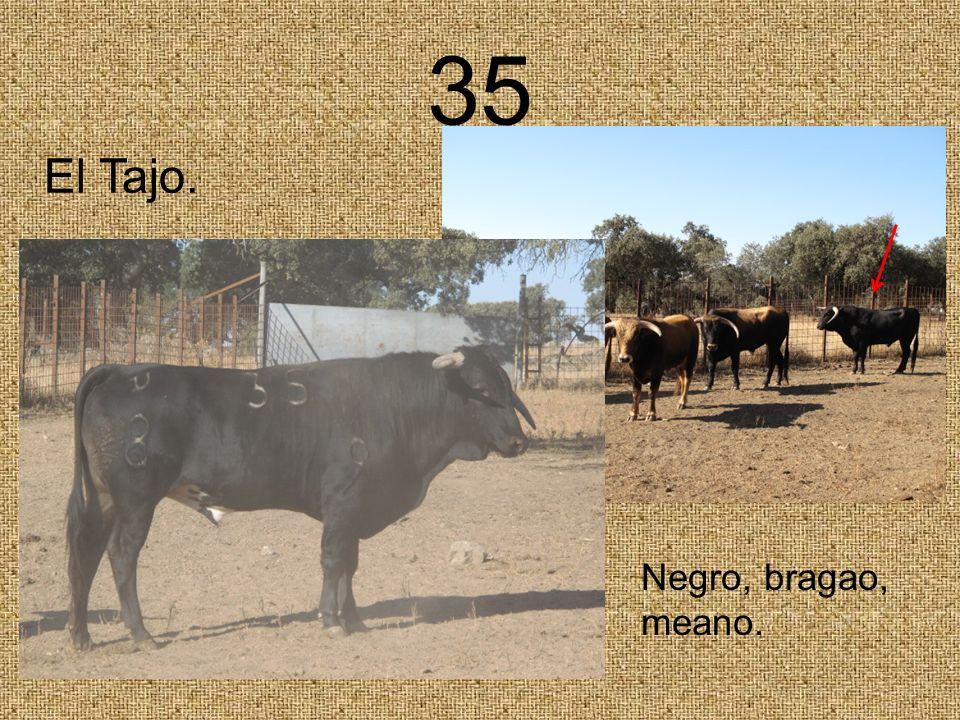 35 Negro, bragao, meano. El Tajo.