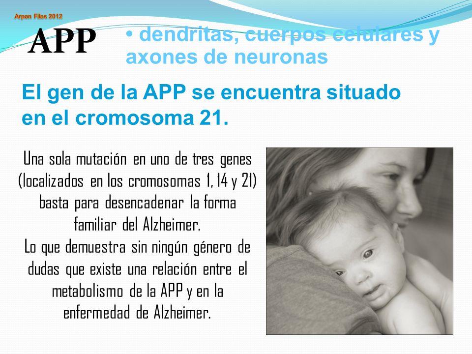 APP dendritas, cuerpos celulares y axones de neuronas El gen de la APP se encuentra situado en el cromosoma 21. Una sola mutación en uno de tres genes
