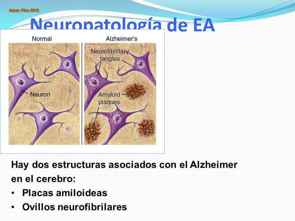 Neuropatología de EA Hay dos estructuras asociados con el Alzheimer en el cerebro: Placas amiloideas Ovillos neurofibrilares