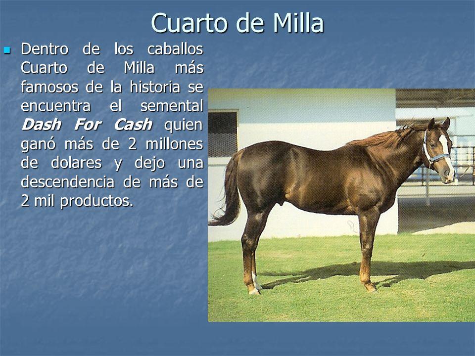 Cuarto de Milla Dentro de los caballos Cuarto de Milla más famosos de la historia se encuentra el semental Dash For Cash quien ganó más de 2 millones de dolares y dejo una descendencia de más de 2 mil productos.
