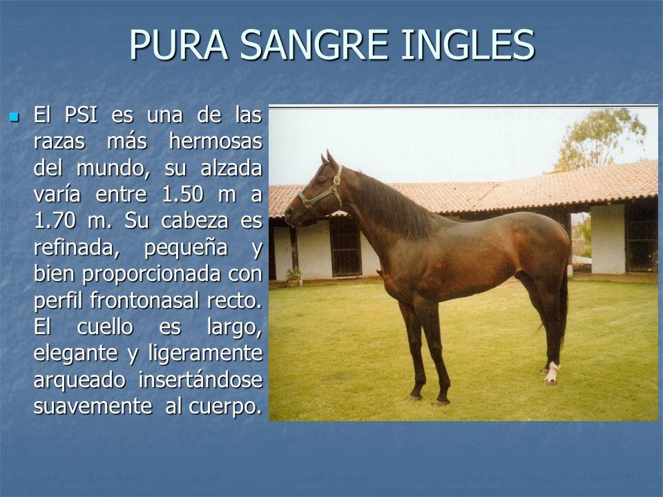 PURA SANGRE INGLES El PSI es una de las razas más hermosas del mundo, su alzada varía entre 1.50 m a 1.70 m.