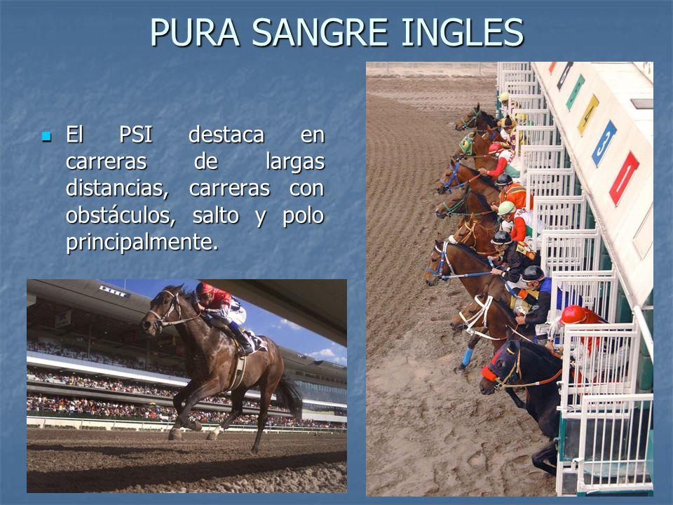PURA SANGRE INGLES El PSI destaca en carreras de largas distancias, carreras con obstáculos, salto y polo principalmente.
