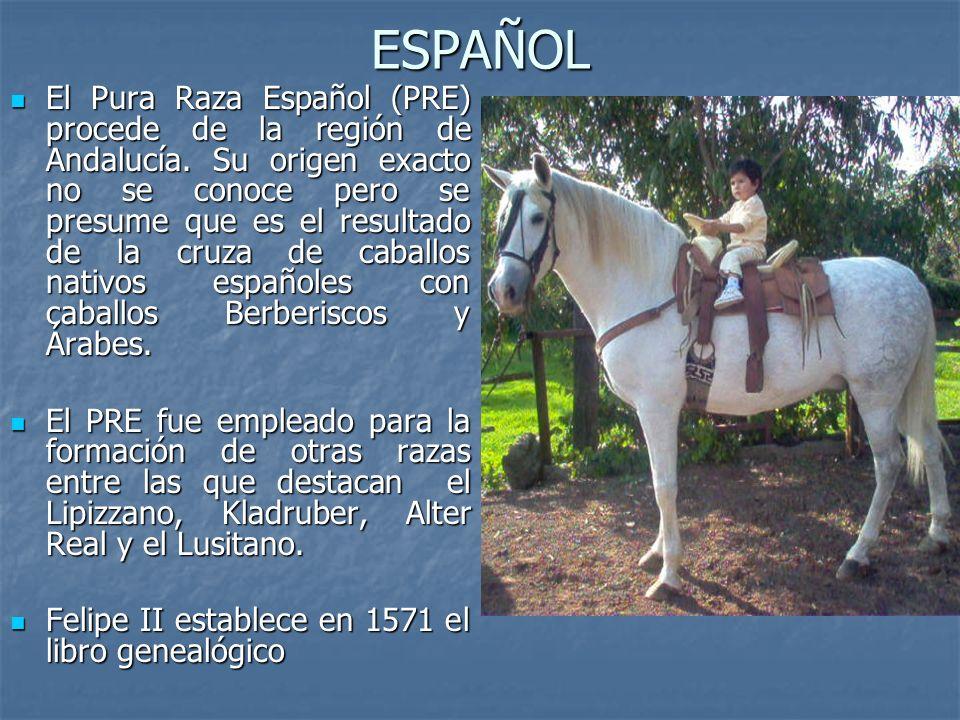 ESPAÑOL El Pura Raza Español (PRE) procede de la región de Andalucía.