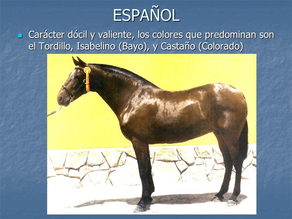 ESPAÑOL Carácter dócil y valiente, los colores que predominan son el Tordillo, Isabelino (Bayo), y Castaño (Colorado) Carácter dócil y valiente, los colores que predominan son el Tordillo, Isabelino (Bayo), y Castaño (Colorado)