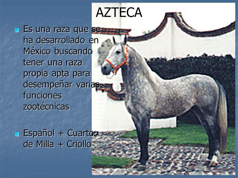 AZTECA Es una raza que se ha desarrollado en México buscando tener una raza propia apta para desempeñar varias funciones zootécnicas Es una raza que se ha desarrollado en México buscando tener una raza propia apta para desempeñar varias funciones zootécnicas Español + Cuarto de Milla + Criollo Español + Cuarto de Milla + Criollo