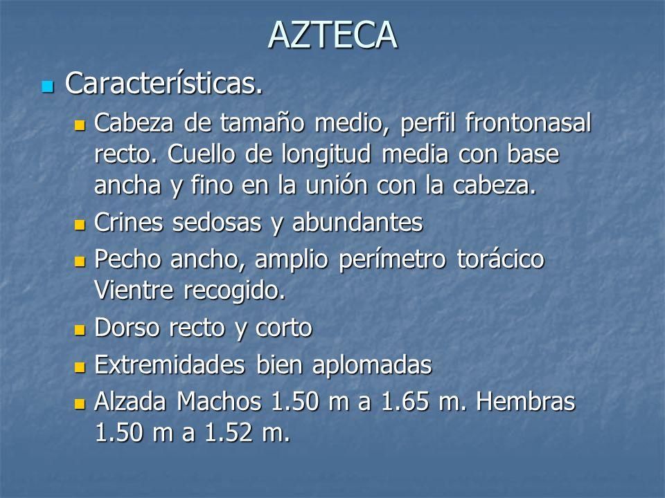 AZTECA Características.Características. Cabeza de tamaño medio, perfil frontonasal recto.