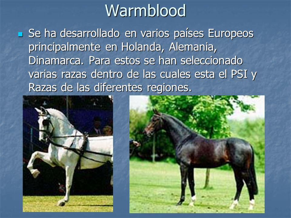 Warmblood Se ha desarrollado en varios países Europeos principalmente en Holanda, Alemania, Dinamarca.