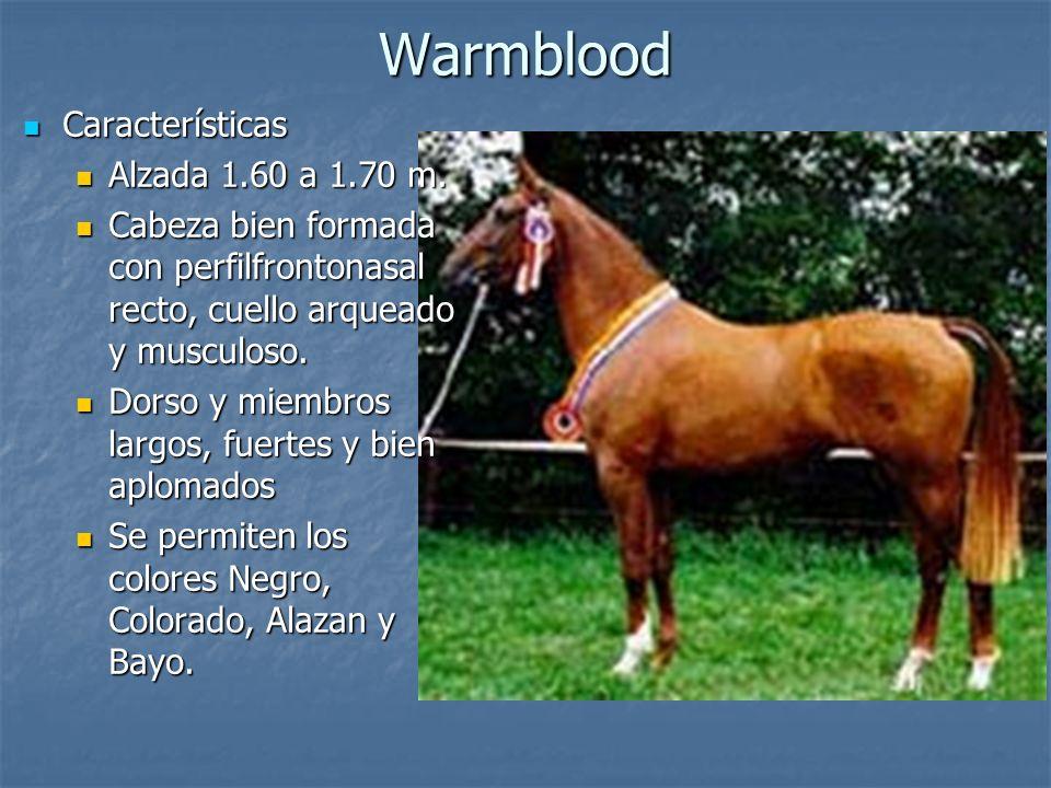 Warmblood Características Características Alzada 1.60 a 1.70 m.