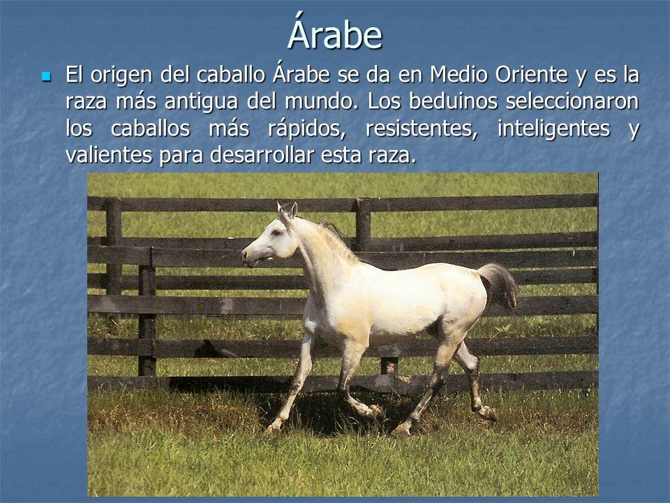 Árabe El origen del caballo Árabe se da en Medio Oriente y es la raza más antigua del mundo.
