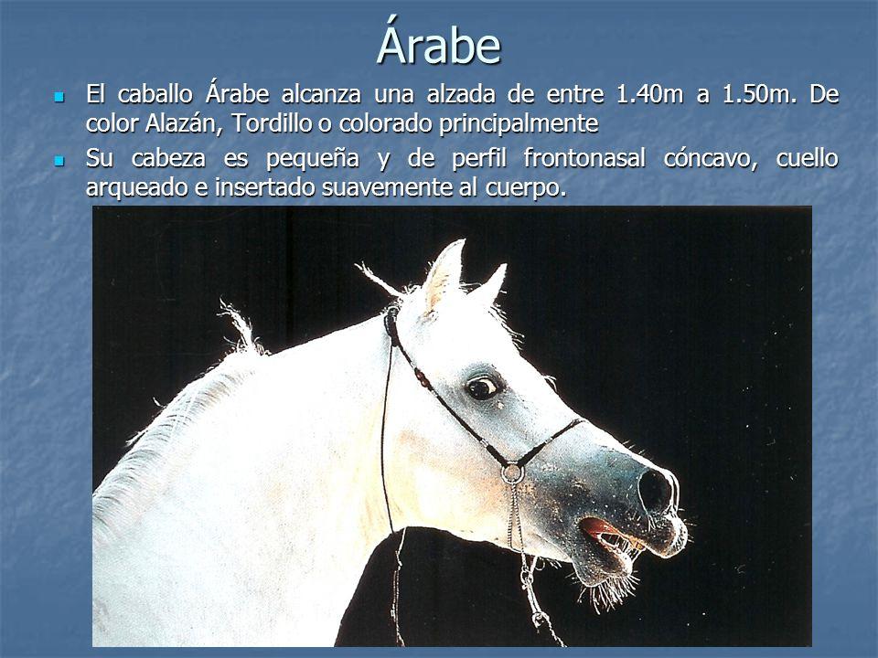 Árabe El caballo Árabe alcanza una alzada de entre 1.40m a 1.50m.