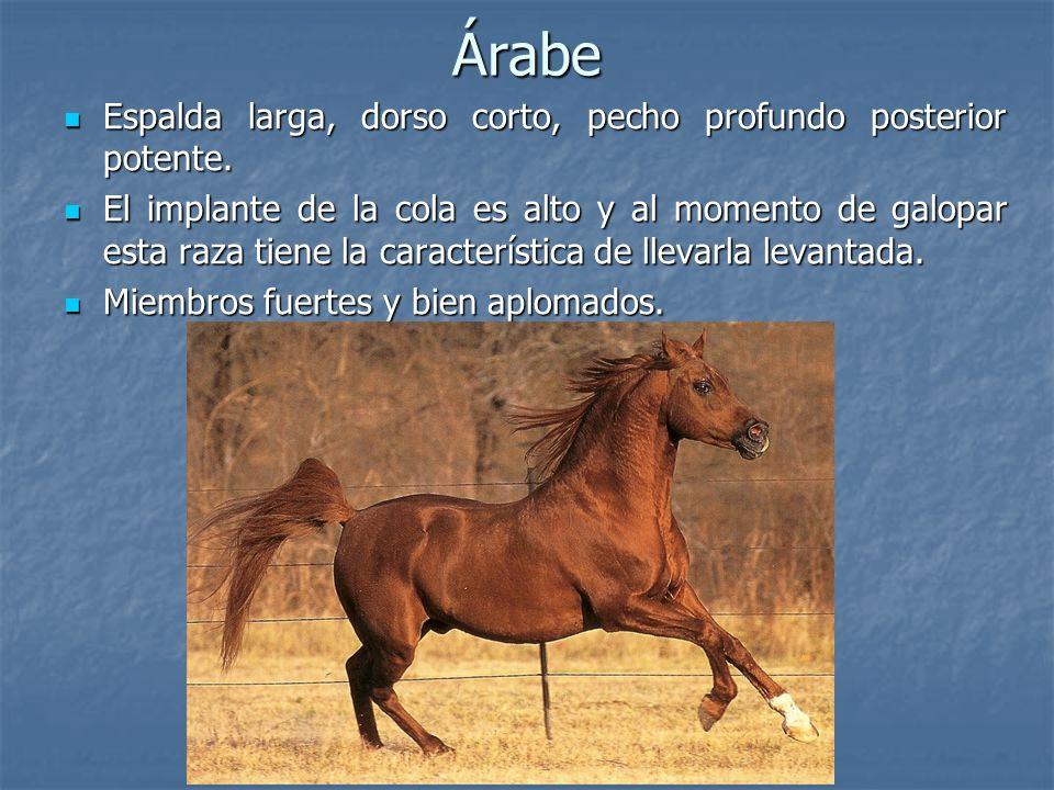 Árabe Espalda larga, dorso corto, pecho profundo posterior potente.