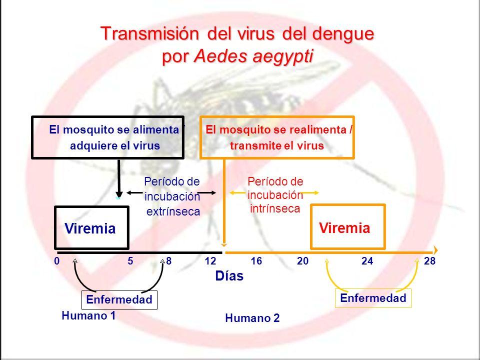 Transmisión del virus del dengue por Aedes aegypti Viremia Período de incubación extrínseca Días 0581216202428 Humano 1 Humano 2 El mosquito se alimen