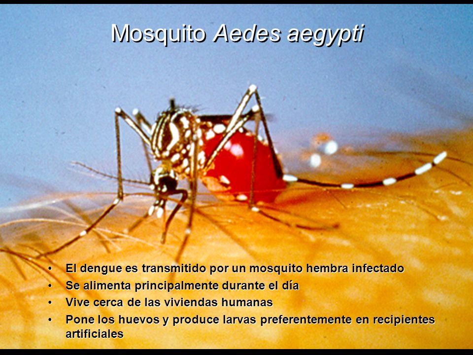 Mosquito Aedes aegypti El dengue es transmitido por un mosquito hembra infectadoEl dengue es transmitido por un mosquito hembra infectado Se alimenta