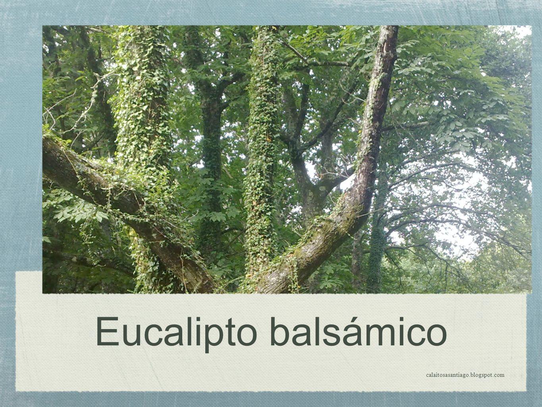 Eucalipto balsámico calaitosasantiago.blogspot.com