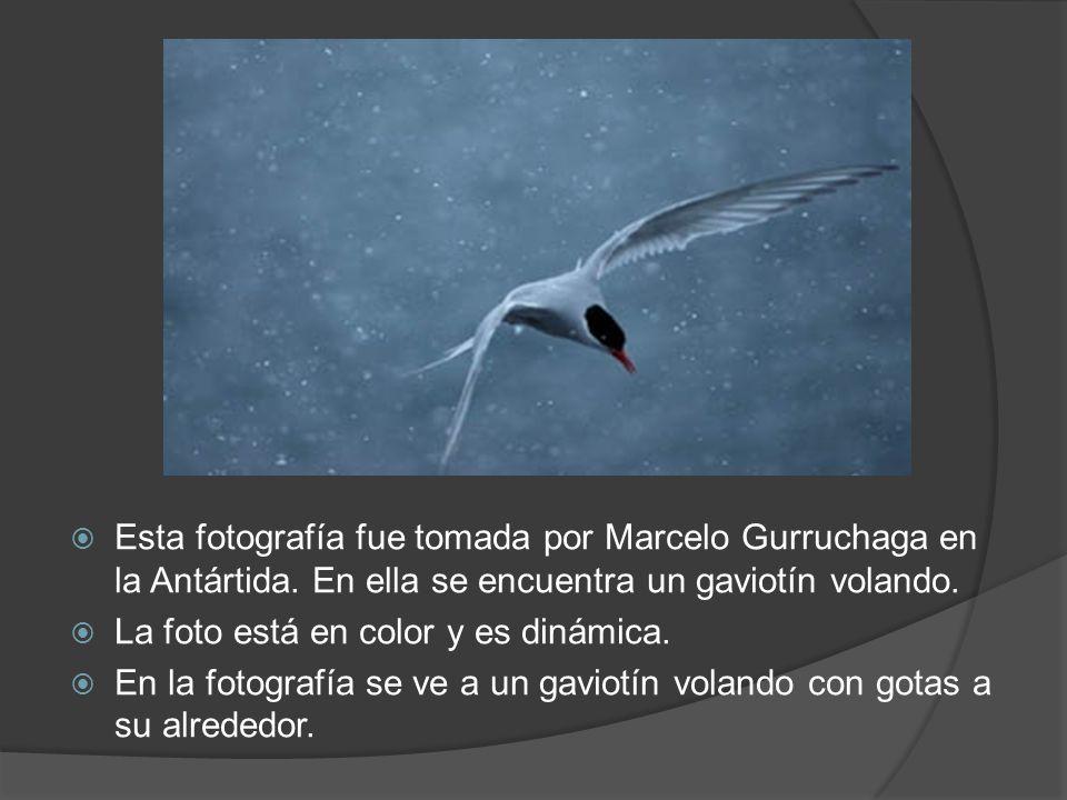 Esta fotografía fue tomada por Marcelo Gurruchaga en la Antártida. En ella se encuentra un gaviotín volando. La foto está en color y es dinámica. En l