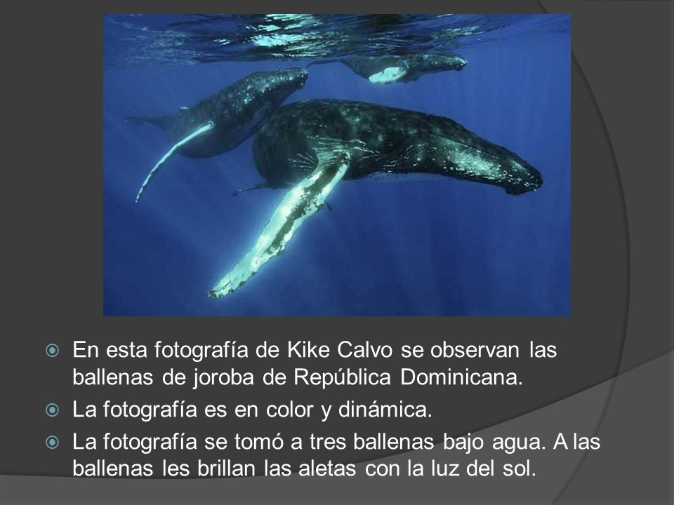En esta fotografía de Kike Calvo se observan las ballenas de joroba de República Dominicana. La fotografía es en color y dinámica. La fotografía se to