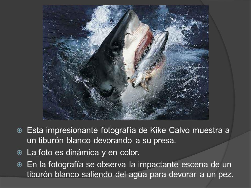 Esta impresionante fotografía de Kike Calvo muestra a un tiburón blanco devorando a su presa. La foto es dinámica y en color. En la fotografía se obse