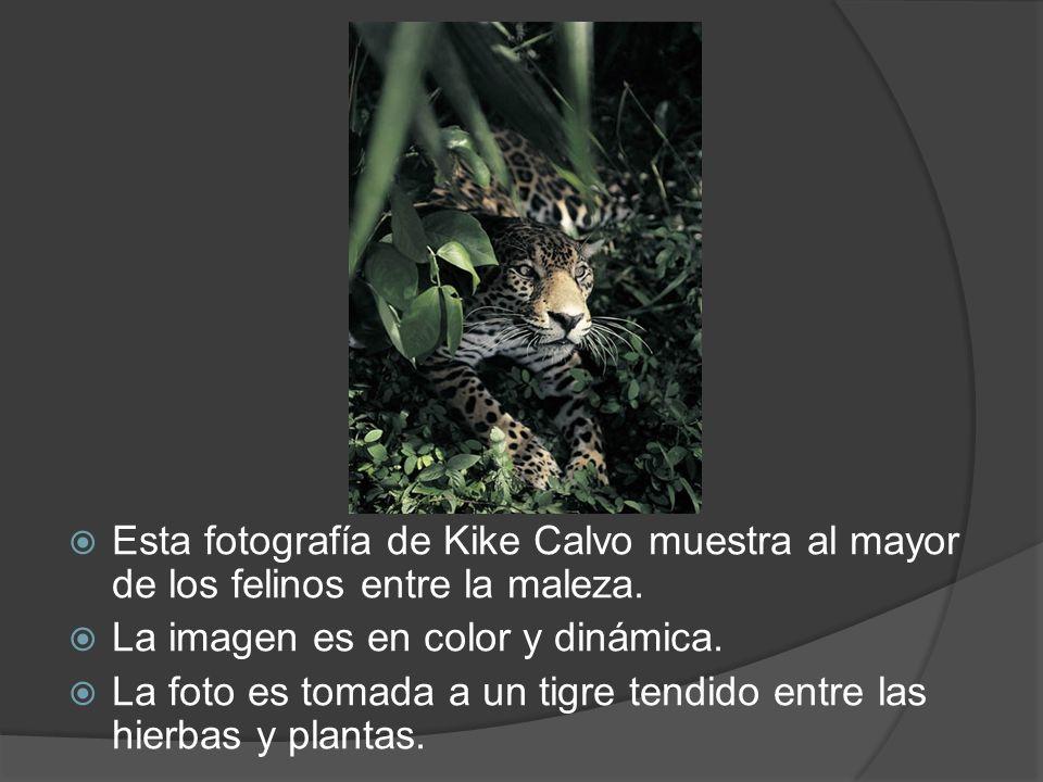 Esta fotografía de Kike Calvo muestra al mayor de los felinos entre la maleza. La imagen es en color y dinámica. La foto es tomada a un tigre tendido