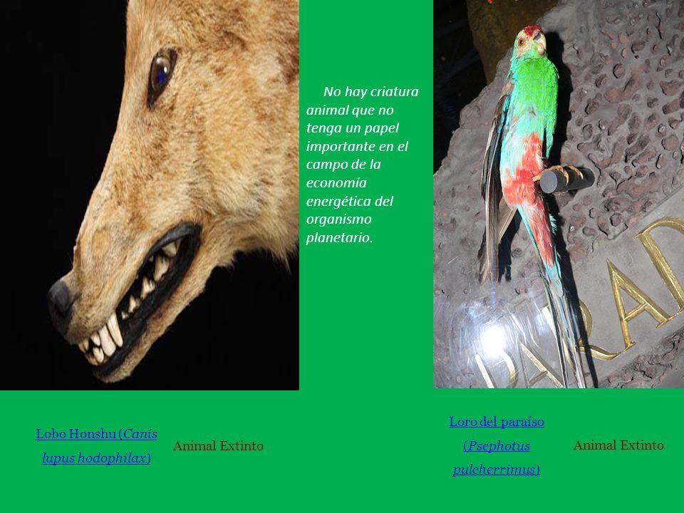 Lobo Honshu (Canis lupus hodophilax) Animal Extinto Loro del paraíso (Psephotus pulcherrimus) Animal Extinto No hay criatura animal que no tenga un papel importante en el campo de la economía energética del organismo planetario.