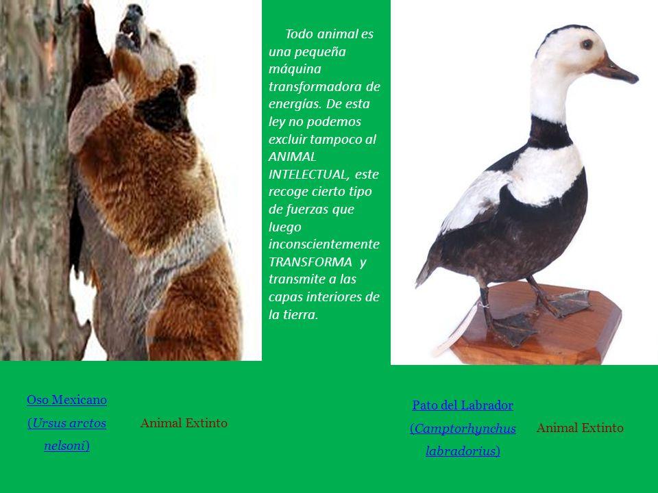 Oso Mexicano (Ursus arctos nelsoni) Animal Extinto Pato del Labrador (Camptorhynchus labradorius) Animal Extinto Todo animal es una pequeña máquina transformadora de energías.