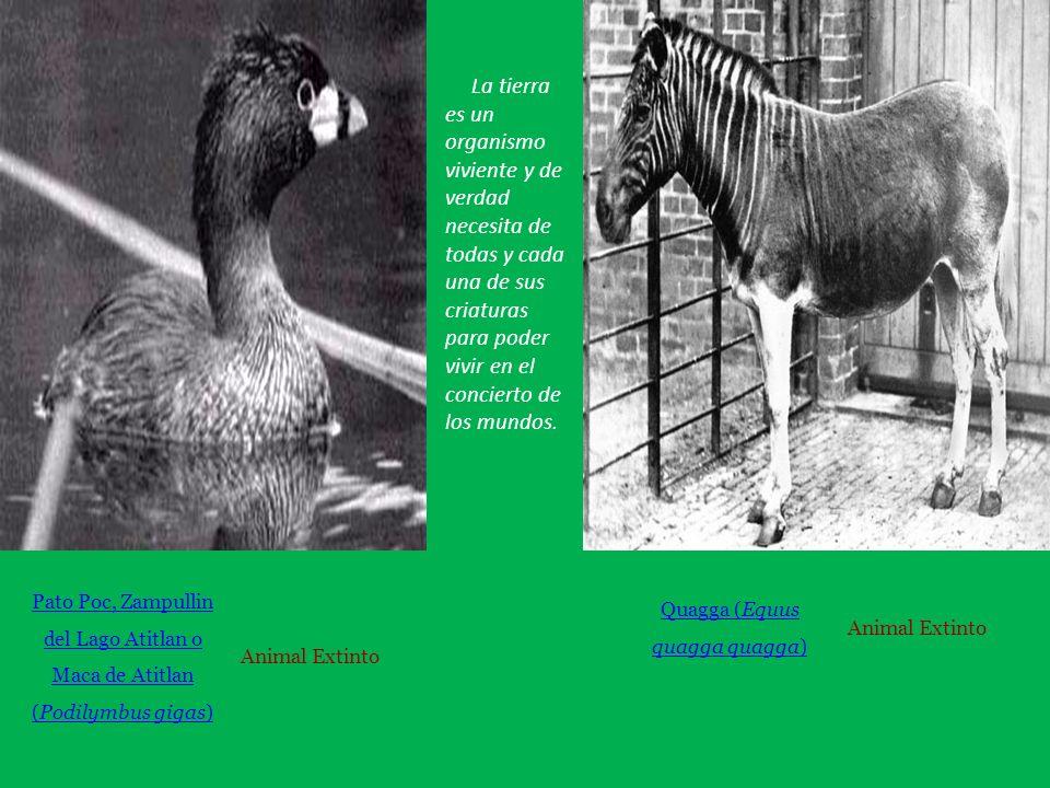 Pato Poc, Zampullin del Lago Atitlan o Maca de Atitlan (Podilymbus gigas) Animal Extinto Quagga (Equus quagga ) Animal Extinto La tierra es un organismo viviente y de verdad necesita de todas y cada una de sus criaturas para poder vivir en el concierto de los mundos.