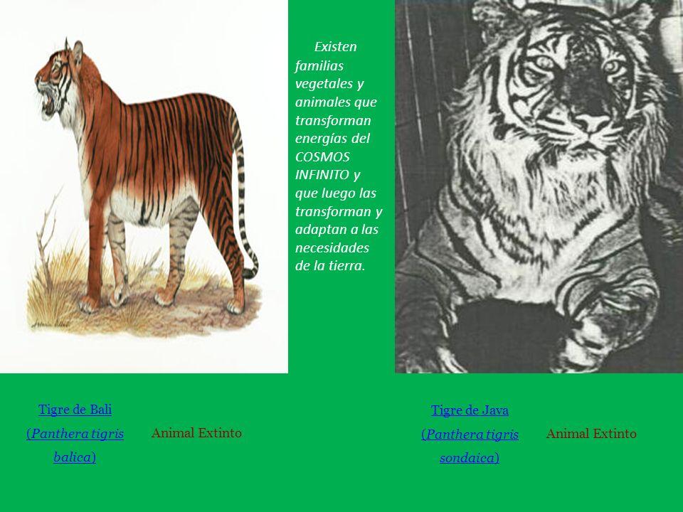 Tigre de Bali (Panthera tigris balica) Animal Extinto Tigre de Java (Panthera tigris sondaica) Animal Extinto Existen familias vegetales y animales que transforman energías del COSMOS INFINITO y que luego las transforman y adaptan a las necesidades de la tierra.