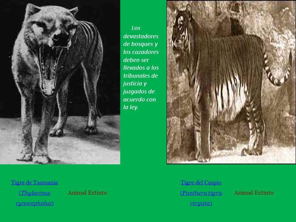 Tigre de Tasmania (Thylacinus cynocephalus) Animal Extinto Tigre del Caspio (Panthera tigris virgata) Animal Extinto Los devastadores de bosques y los cazadores deben ser llevados a los tribunales de justicia y juzgados de acuerdo con la ley.