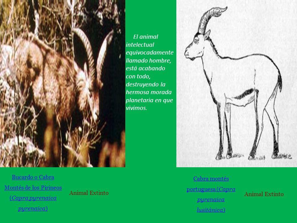 Bucardo o Cabra Montés de los Pirineos (Capra pyrenaica pyrenaica) Animal Extinto Cabra montés portuguesa (Capra pyrenaica lusitánica) Animal Extinto El animal intelectual equivocadamente llamado hombre, está acabando con todo, destruyendo la hermosa morada planetaria en que vivimos.