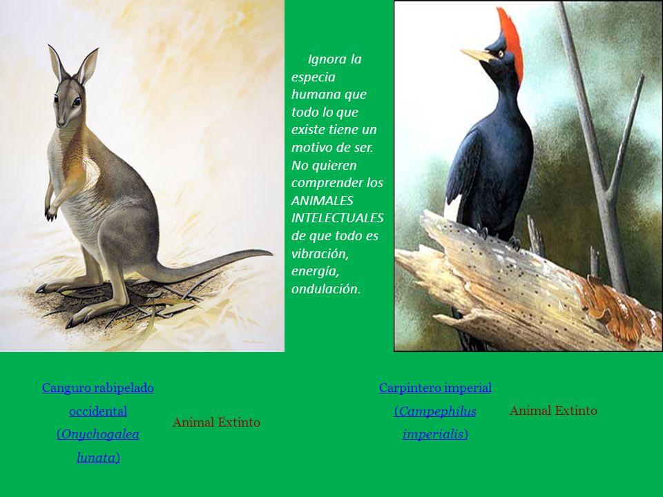 Canguro rabipelado occidental (Onychogalea lunata) Animal Extinto Carpintero imperial (Campephilus imperialis) Animal Extinto Ignora la especia humana que todo lo que existe tiene un motivo de ser.
