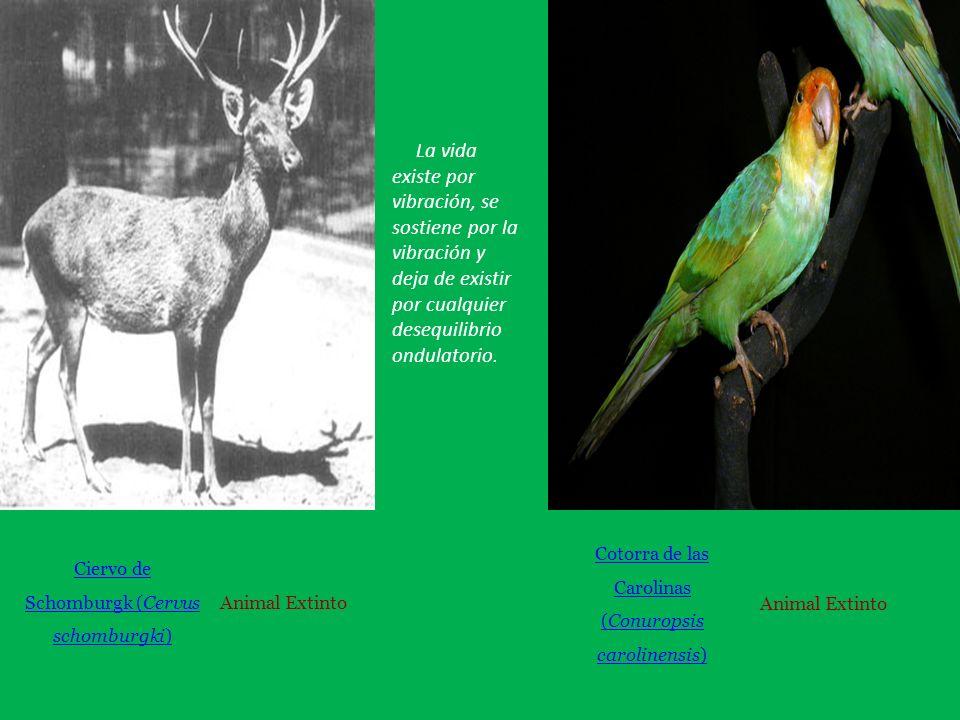 Ciervo de Schomburgk (Cervus schomburgki) Animal Extinto Cotorra de las Carolinas (Conuropsis carolinensis) Animal Extinto La vida existe por vibración, se sostiene por la vibración y deja de existir por cualquier desequilibrio ondulatorio.