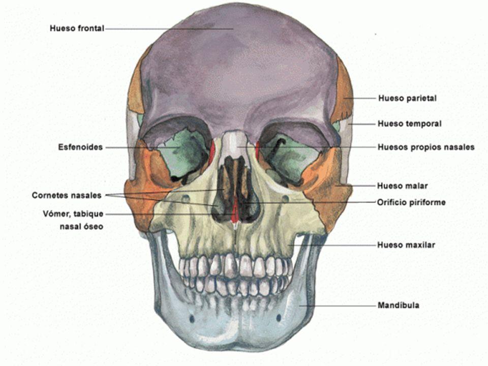 Capa externa: Conformada por la córnea y la esclerótica.