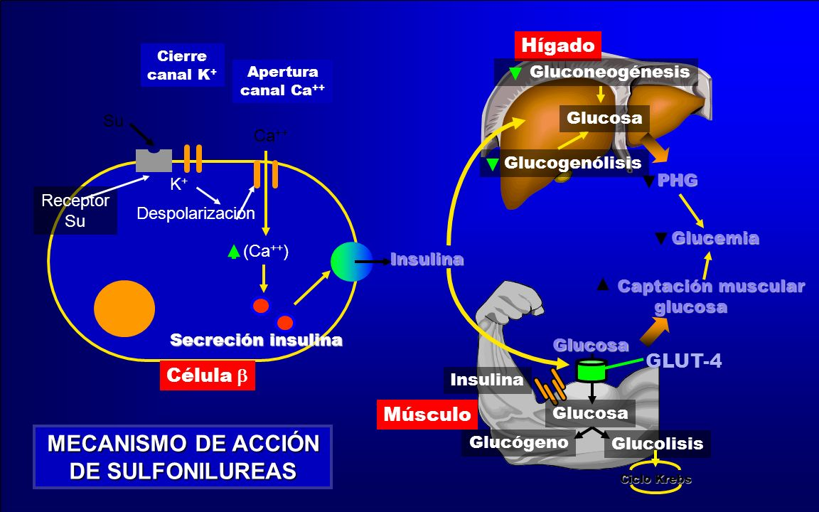 Hígado Músculo Glucemia Glucemia Captación muscular Captación muscularglucosa PHG Insulina Glucosa GLUT-4 Glucógeno Glucolisis Ciclo Krebs Glucosa Glu