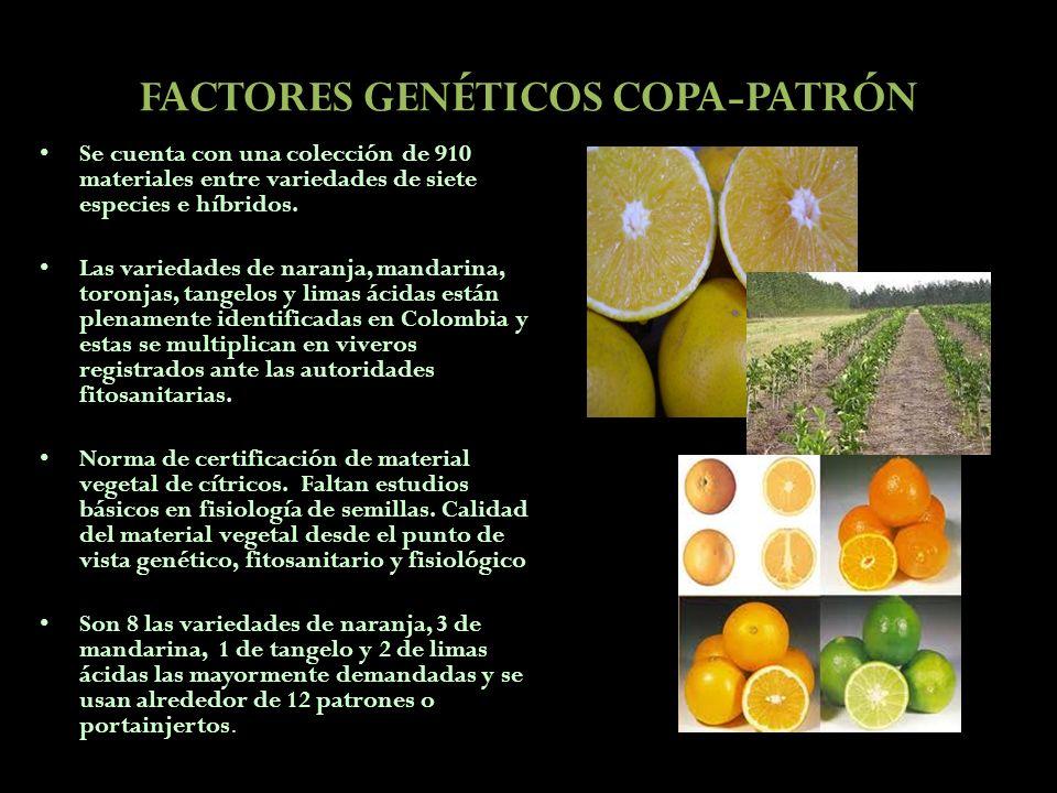 FACTORES GENÉTICOS COPA-PATRÓN Se cuenta con una colección de 910 materiales entre variedades de siete especies e híbridos. Las variedades de naranja,