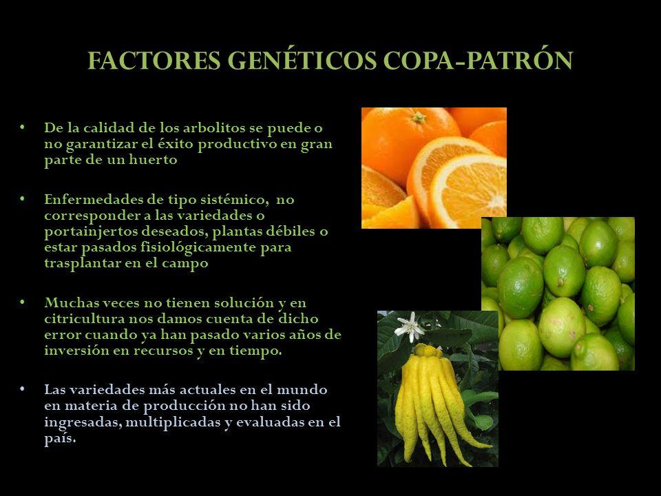 FACTORES GENÉTICOS COPA-PATRÓN De la calidad de los arbolitos se puede o no garantizar el éxito productivo en gran parte de un huerto Enfermedades de