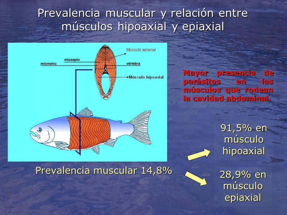 Prevalencia muscular y relación entre músculos hipoaxial y epiaxial 91,5% en músculo hipoaxial 28,9% en músculo epiaxial Prevalencia muscular 14,8% Mayor presencia de parásitos en los músculos que rodean la cavidad abdominal.