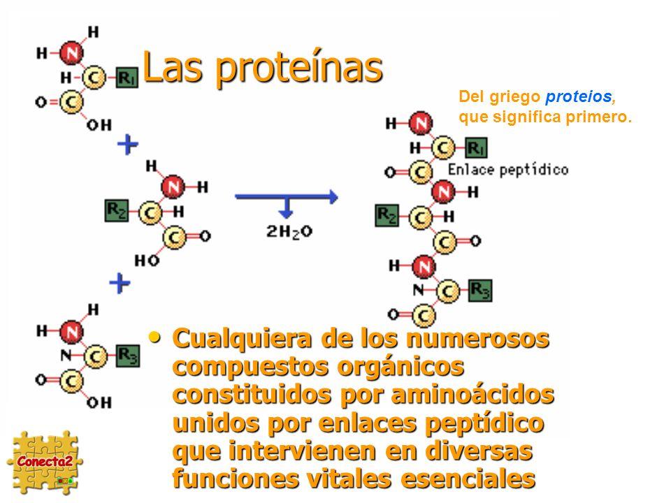 Las proteínas Cualquiera de los numerosos compuestos orgánicos constituidos por aminoácidos unidos por enlaces peptídico que intervienen en diversas funciones vitales esenciales Cualquiera de los numerosos compuestos orgánicos constituidos por aminoácidos unidos por enlaces peptídico que intervienen en diversas funciones vitales esenciales Del griego proteios, que significa primero.