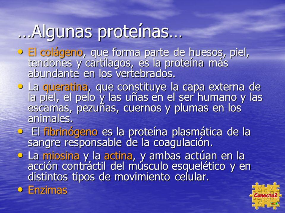 …Algunas proteínas… El colágeno, que forma parte de huesos, piel, tendones y cartílagos, es la proteína más abundante en los vertebrados.
