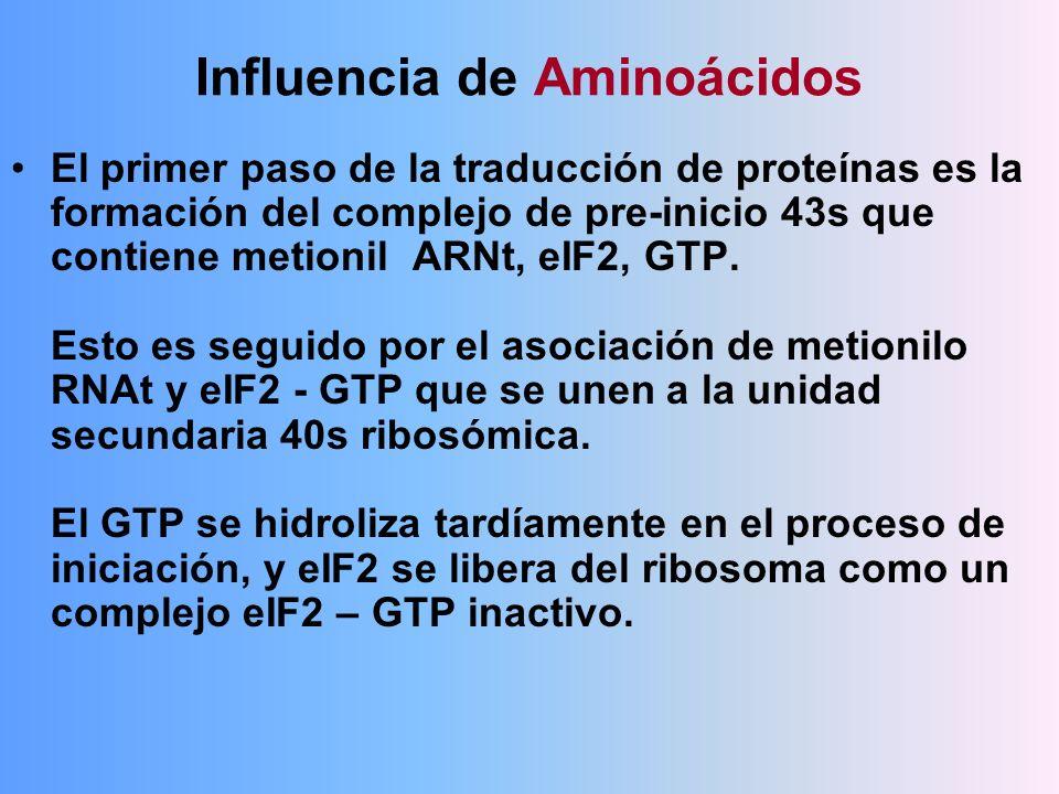 Influencia de Aminoácidos El primer paso de la traducción de proteínas es la formación del complejo de pre-inicio 43s que contiene metionil ARNt, eIF2
