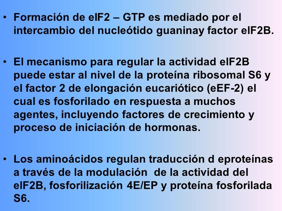 Formación de eIF2 – GTP es mediado por el intercambio del nucleótido guaninay factor elF2B. El mecanismo para regular la actividad elF2B puede estar a