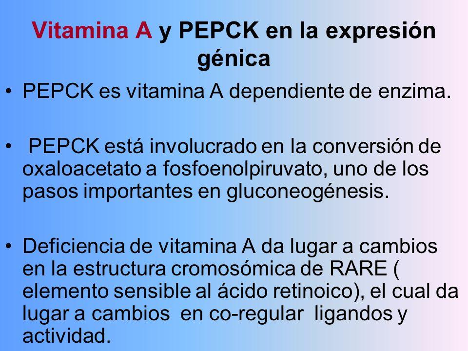 Vitamina A y PEPCK en la expresión génica PEPCK es vitamina A dependiente de enzima. PEPCK está involucrado en la conversión de oxaloacetato a fosfoen