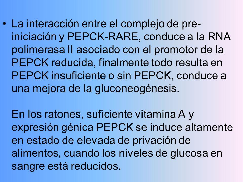 La interacción entre el complejo de pre- iniciación y PEPCK-RARE, conduce a la RNA polimerasa II asociado con el promotor de la PEPCK reducida, finalm