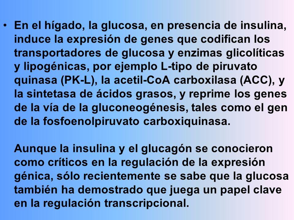 En el hígado, la glucosa, en presencia de insulina, induce la expresión de genes que codifican los transportadores de glucosa y enzimas glicolíticas y