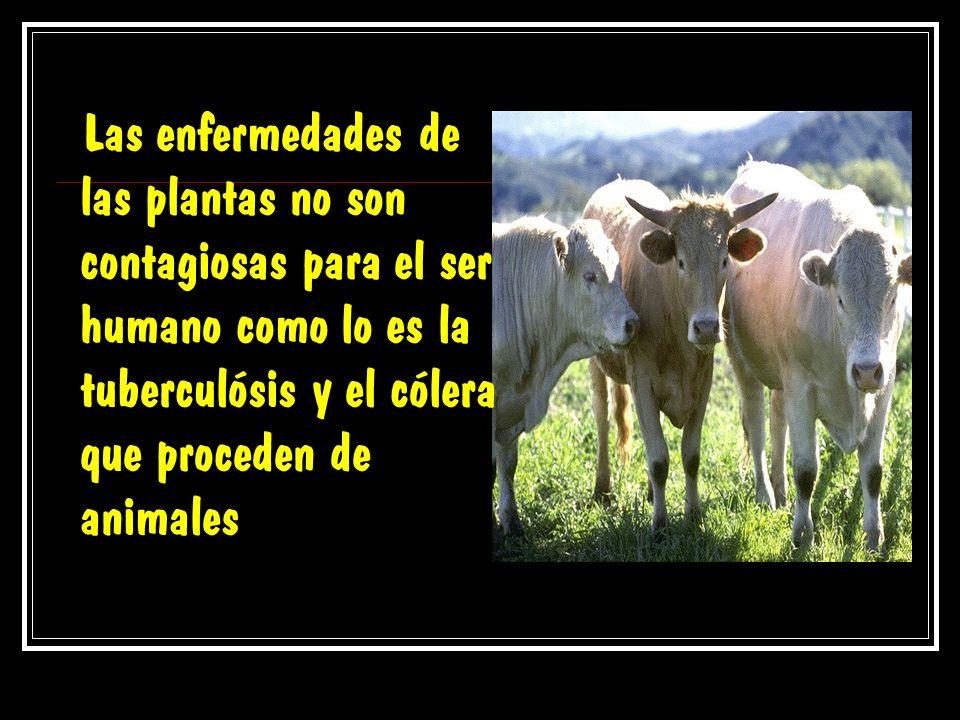 Las enfermedades de las plantas no son contagiosas para el ser humano como lo es la tuberculósis y el cólera que proceden de animales