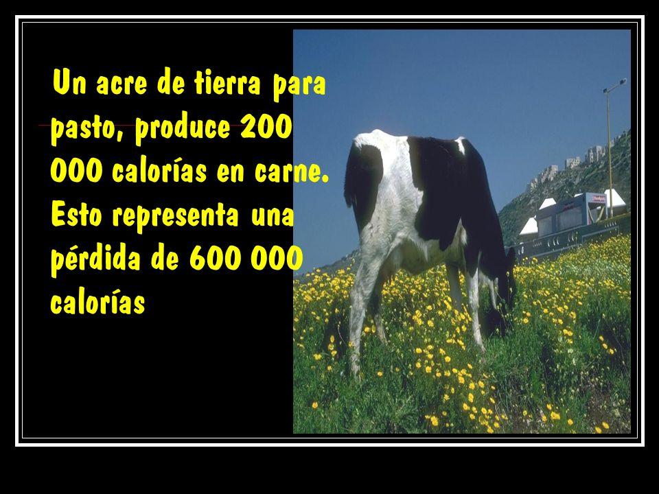 Un acre de tierra para pasto, produce 200 000 calorías en carne. Esto representa una pérdida de 600 000 calorías