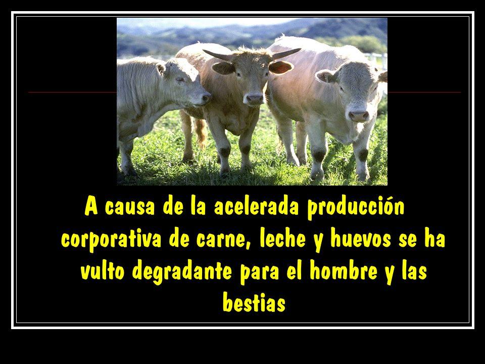 A causa de la acelerada producción corporativa de carne, leche y huevos se ha vulto degradante para el hombre y las bestias