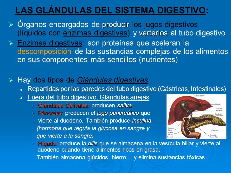 LAS GLÁNDULAS DEL SISTEMA DIGESTIVO: producir verterlos Órganos encargados de producir los jugos digestivos (líquidos con enzimas digestivas) y verter