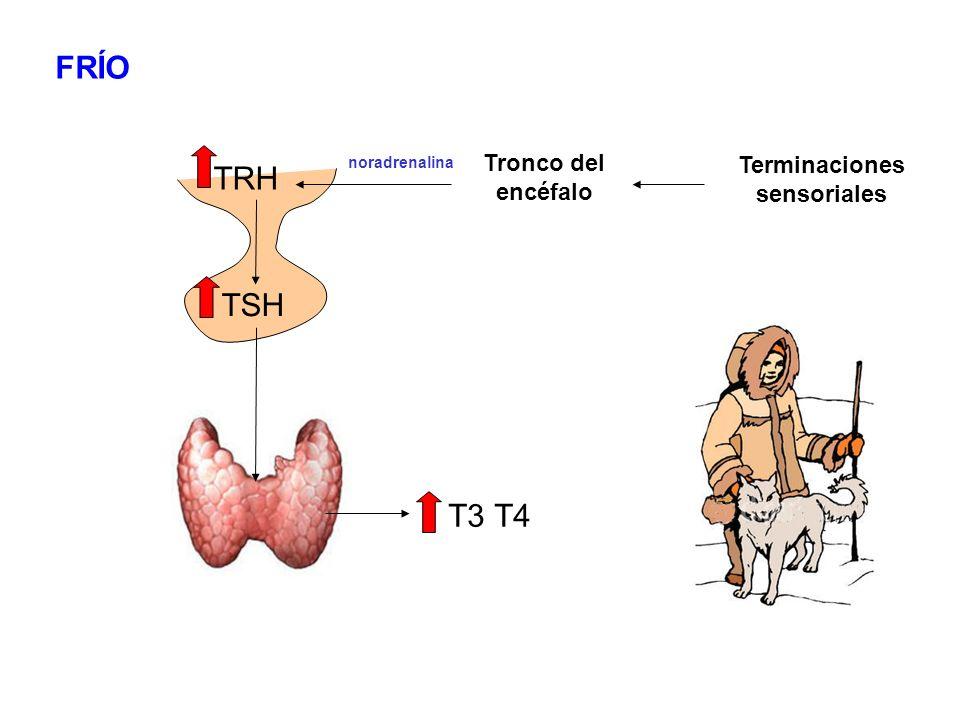 TRH T3 T4 TSH FRÍO Terminaciones sensoriales Tronco del encéfalo noradrenalina