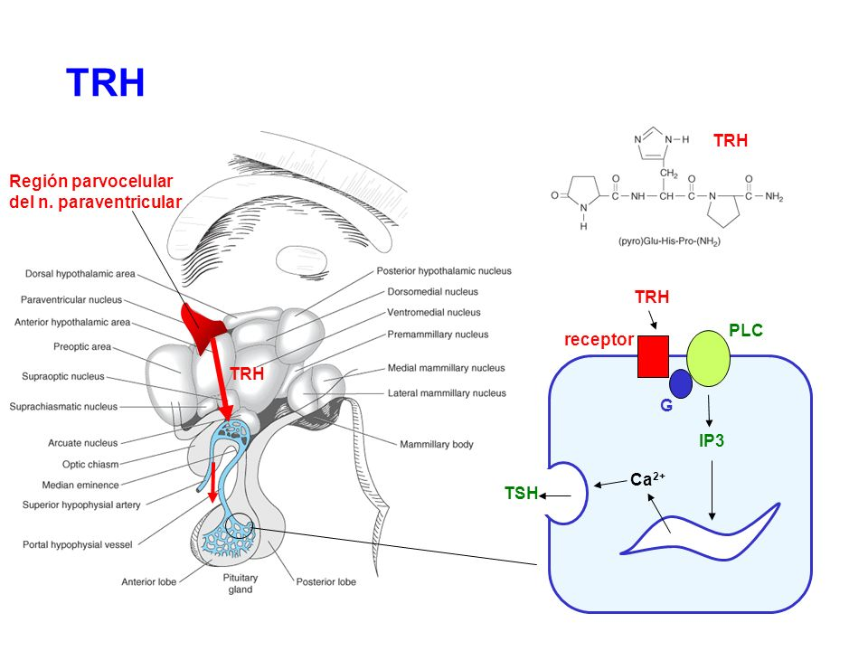 Región parvocelular del n. paraventricular TRH G PLC IP3 receptor Ca 2+ TSH TRH