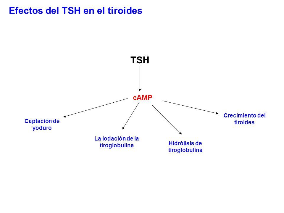 TSH Captación de yoduro La iodación de la tiroglobulina Hidrólisis de tiroglobulina Crecimiento del tiroides cAMP Efectos del TSH en el tiroides